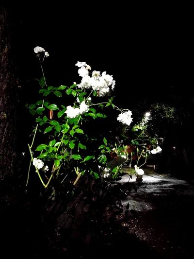 The white beauty in the dark Flower White Color Beauty In Nature Nature Rose - Flower Green Color Darkness And Beauty Handypics Enjoy Little Things Dark White Rose Darkness To Light