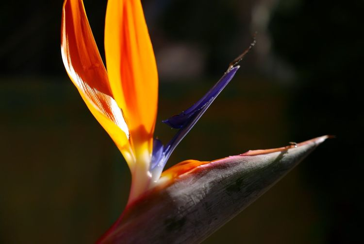 Shine Beauty Is Everywhere  Exquisite Flower EyeEm Nature Lover Happiness Sunlight Light Birdofparadise Orange Colorful Colors Beautiful Shine Flower Petal Fragility Freshness Flower Head Beauty In Nature Bird Of Paradise - Plant Close-up Outdoors No People Nature