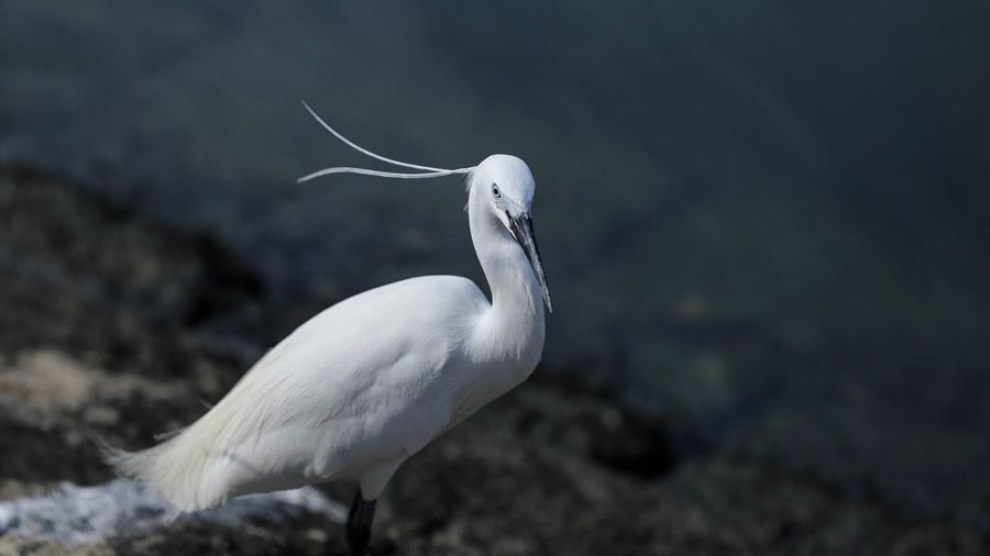 Bird One Animal Animals In The Wild Animal Themes White Color Nature Animal Wildlife Beak No People Day Outdoors Great Egret Egret Water Stork Perching