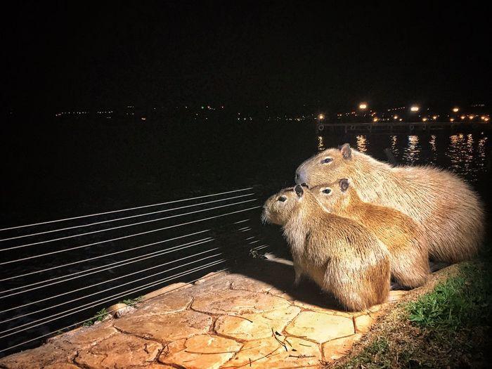 Capibara famil