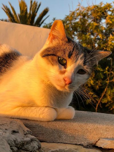 White tabby cat looking curiously at the camera with sunset golden hour glow Curious Kitten Tortiseshell Kitten Calico Cat Tabby Cat Tabbycats Tabby Cats Animal Themes Animal One Animal Mammal Feline Cat Vertebrate No People Pets Domestic Animals Day Looking Big Cat Nature Carnivora Close-up Looking Away Whisker Tree Outdoors