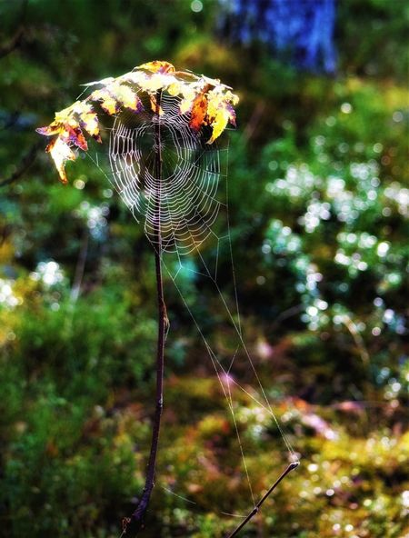 Spider Nature Outdoors Beauty In Nature Wood Forest Autumn🍁🍁🍁 Trapped Nature Norway Is Peaceful Leaf Colour Of Life