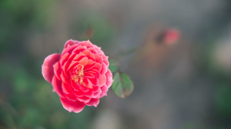 China Flowers Growth Guangzhou Macro Macro Photography Macro_collection Plants Roses Rosé Traveling Showcase March