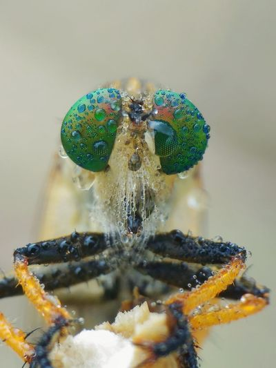 robberfly Insect Spider Jumping Spider Close-up