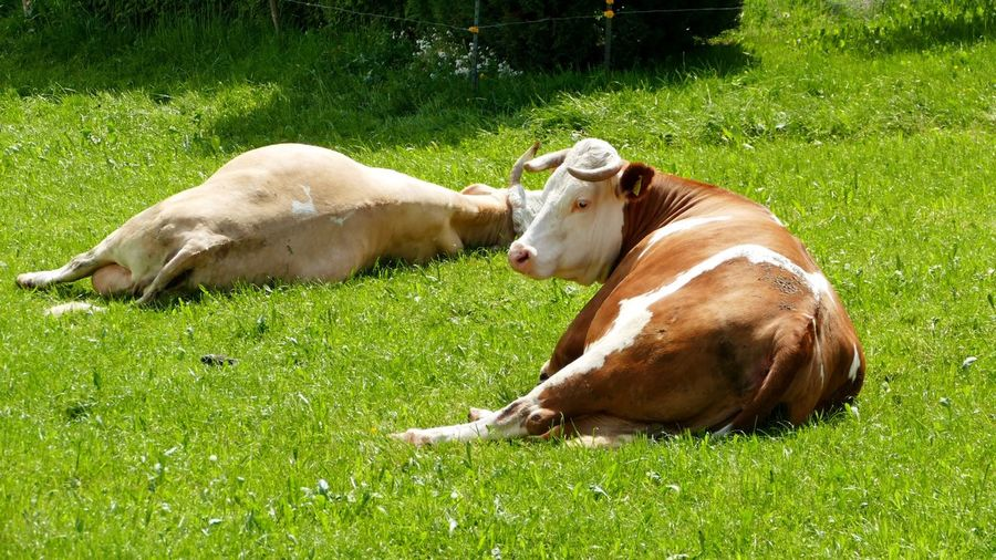 High angle view of cows lying on grass