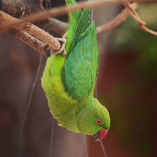 Tota(parrot) Parrot Birdwatchers Birds Beautyfull Hdr_loversi Hdr_loversi Hdr_loversi Jaipurdiaries🎀 Jaipurdiaries 🎀 Panasonic  Fz200 Dausa Nature Naturelovers Ig_naturelovers