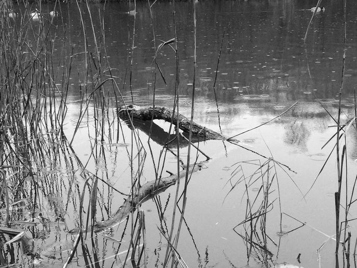 Nature always a great source of inspiration Pond Black And White Photography Monochromatic Trunk Drops Water Rain One Animal Reflection Nature No People Day
