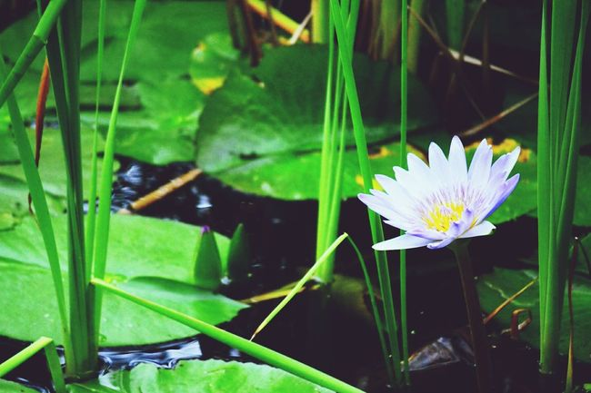 Flower Leaf Pond Nature Water Lily Plant Water Floating On Water Water Plant Beauty In Nature Fragility Living Organism Green Color Lotus Water Lily No People Freshness Day Outdoors Multi Colored Close-up