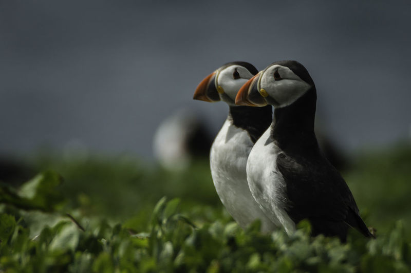 Atlantic Puffins Animal Themes Animal Wildlife Animals In The Wild Atlantic Puffin Beauty In Nature Bird Close-up Day Grass Nature Nature Photography No People Outdoors Puffin Wildlife Photography