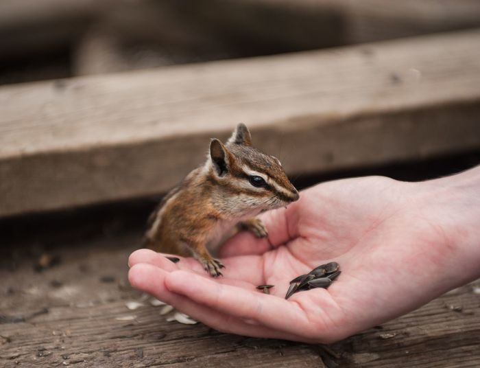 One Animal Animal Themes Animal Wildlife Animals In The Wild Real People Mammal Outdoors Day Care One Person Human Hand Human Body Part People Chipmunk Nikon Nikon_photography Adult Chipmunk Photography Chipmunk Close-up Animal Close-up Nature