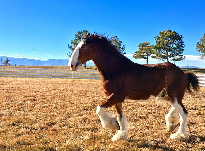 Horse Domestic Animals Mammal Animal Themes Livestock Field Herbivorous One Animal Day Brown Tree Side View No People Standing Outdoors Nature Clear Sky Sky