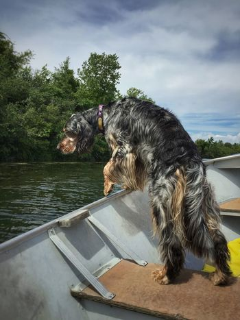 Looking for ducks English Setter Detroit River Livingston Channel Bird Dog Small Boat Pointer Dog Michigan Summer Power Boats Dog In Boat Colour Of Life
