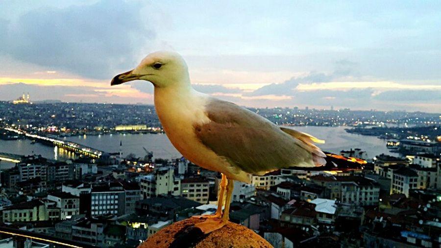 Стамбул Чайка видсбашни галатскаябашня декабрь2014