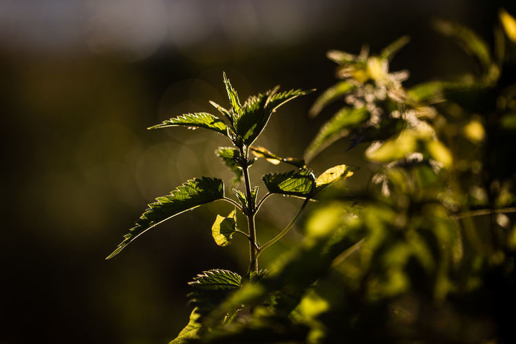 stinging nettles Beauty In Nature Botany Close-up Day Focus On Foreground Fragility Freshness Green Color Growing Growth Leaf Nature No People Outdoors Plant Plant Life Selective Focus Stem Stinging Nettles Tranquility The Great Outdoors - 2016 EyeEm Awards Nature's Diversities