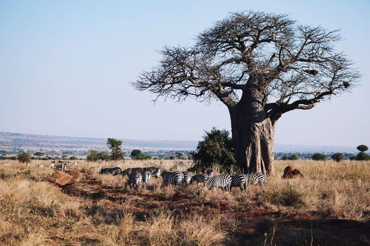 Tansania landscape Nature Sky Landscape Tree Day Outdoors Grass Tranquility Growth Scenics Beauty In Nature No People Baobab Tree Group Of Animals Safari Animals Safari Adventure African Tree Field Tranquil Scene Tree Trunk Clear Sky Bare Tree Mammal Animal Themes