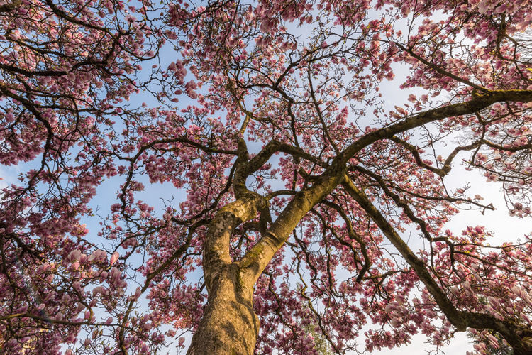 Spring fireworks Tree Magnolia Nature Blooming Pink Blossom Sky Low Angle View Beautiful Outdoors Lush Plant Branch Growth Beauty In Nature Trunk Tree Trunk Flowering Plant Springtime Directly Below Flower No People