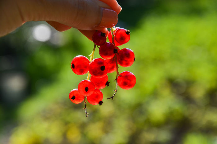 Redcurrant Beauty In Nature Close-up Currant Day Focus On Foreground Food Food And Drink Freshness Fruit Growth Healthy Eating Human Body Part Human Hand Nature One Person Outdoors People Real People Red