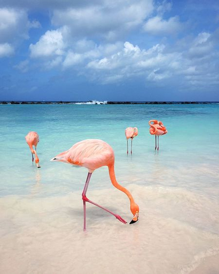 Tropical destination Flamingo Beach Flamingos In Water Flamingo Aruba EyeEm Selects Water Flamingo Sea Cloud - Sky Sky Beauty In Nature Animal Nature Animal Wildlife Land Animals In The Wild Animal Themes Bird Scenics - Nature Vertebrate Pink Color Group Of Animals No People Day Horizon Over Water