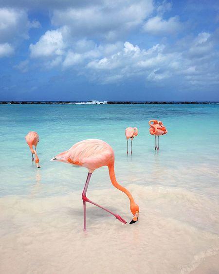 Tropical destination Flamingo Beach Flamingos In Water Flamingo Aruba EyeEm Selects Water Flamingo Sea Cloud - Sky Sky Beauty In Nature Animal Nature Animal Wildlife Land Animals In The Wild Animal Themes Bird Scenics - Nature Vertebrate Pink Color Group Of Animals No People Day Horizon Over Water