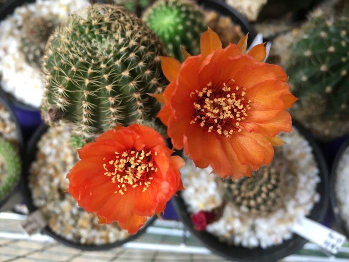 Close-up of orange cactus flower pot