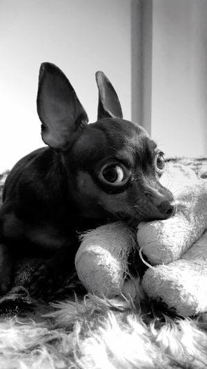 Domestic Animals Dog Chiuaua First Eyeem Photo EyeEmNewHere Pet Portraits