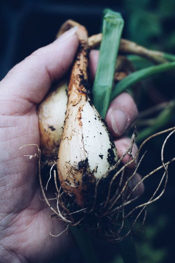 Cropped image of hand harvesting onions