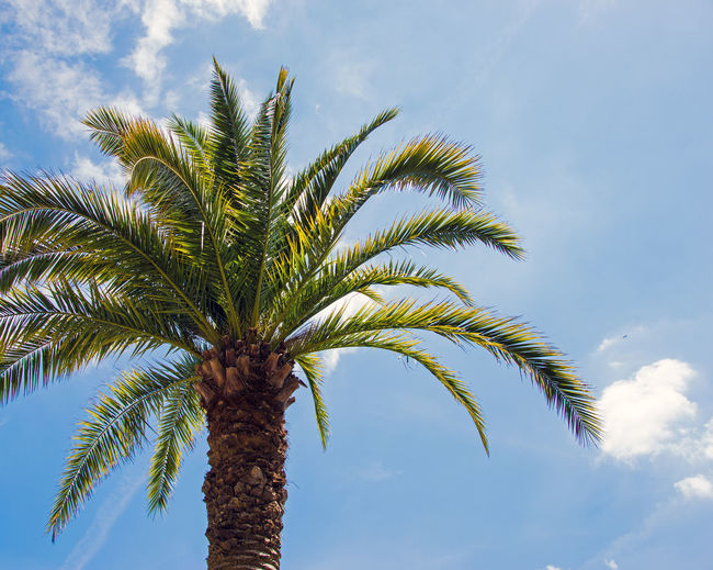 Date palm tree against cloudy sky