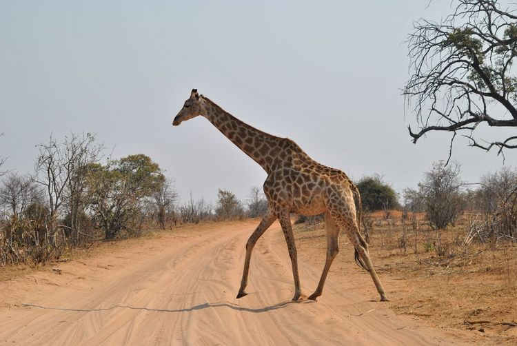 Side View Of Giraffe Walking On Dirt Road Against Clear Sky During Sunny Day