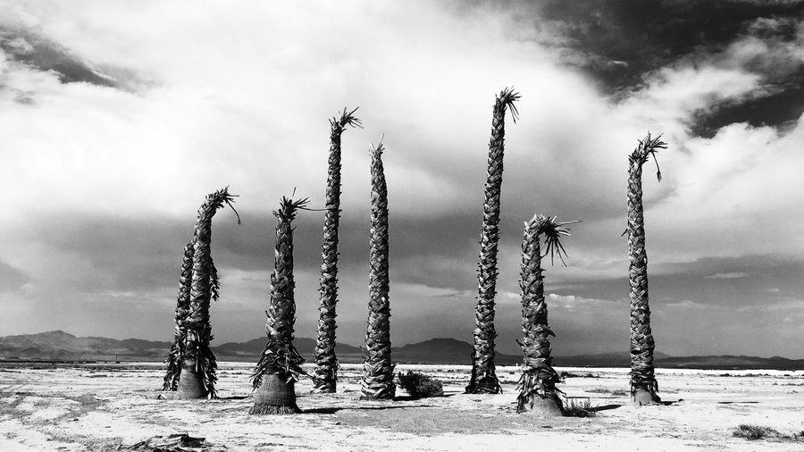 Palm tree stumps at mojave desert against cloudy sky