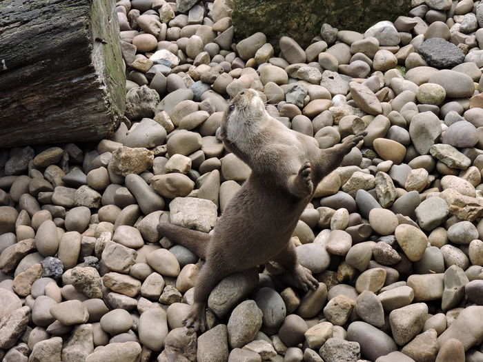 High angle view of otter rearing up on stone covered field