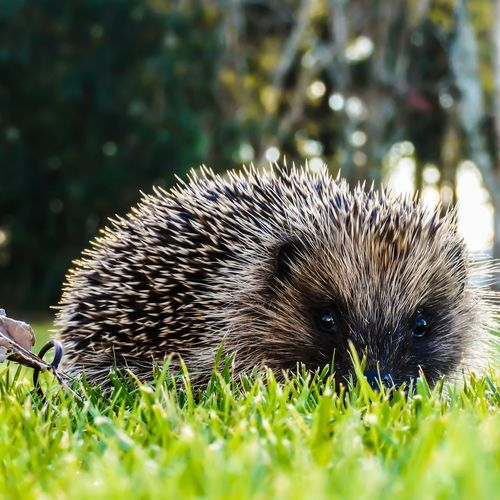 Whats this guy doing out during the day? Cute guy tho😍 Sonyalpha New Zealand Southland Hedgehog