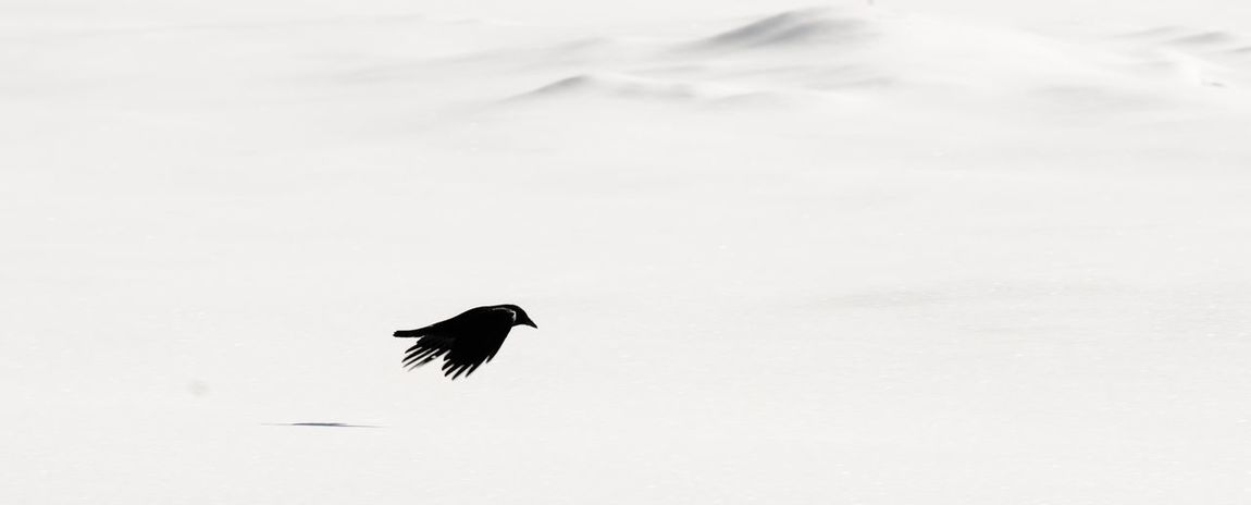 Silhouette of a black crow on snow white Background Not A Painting Bw Blackandwhite Bird Animals In The Wild Animal Wildlife One Animal Silhouette Flying Animal Themes Nature Outdoors Winter Raven - Bird Snow No People Beauty In Nature Day Bird Of Prey Sky Spread Wings