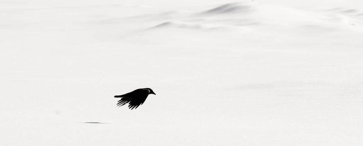Bird flying in snow