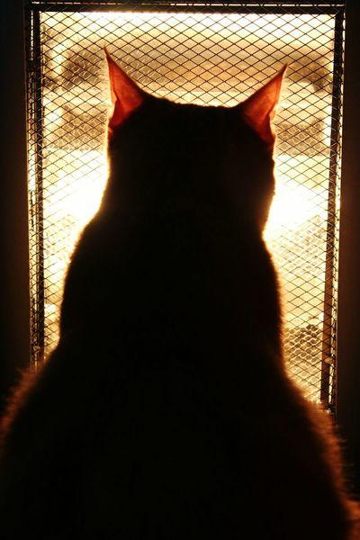 Pets Domestic Animals Feline Silhouette Portrait Domestic Cat Heat Warm Animal