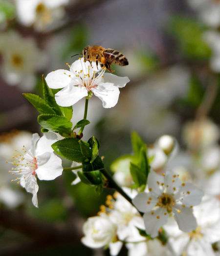 Close-up of insect on white cherry blossom