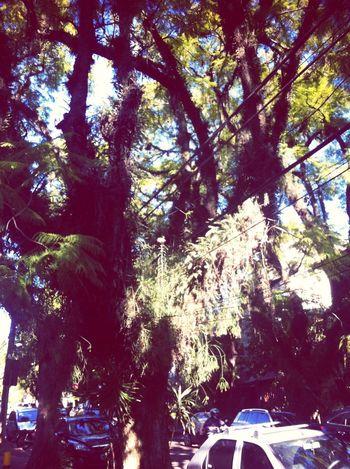 Eu tenho uma estória de amor verdadeiro por estas árvores. Porto Alegre Trees Street Photography