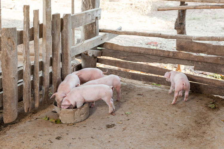 Piglet in the coop
