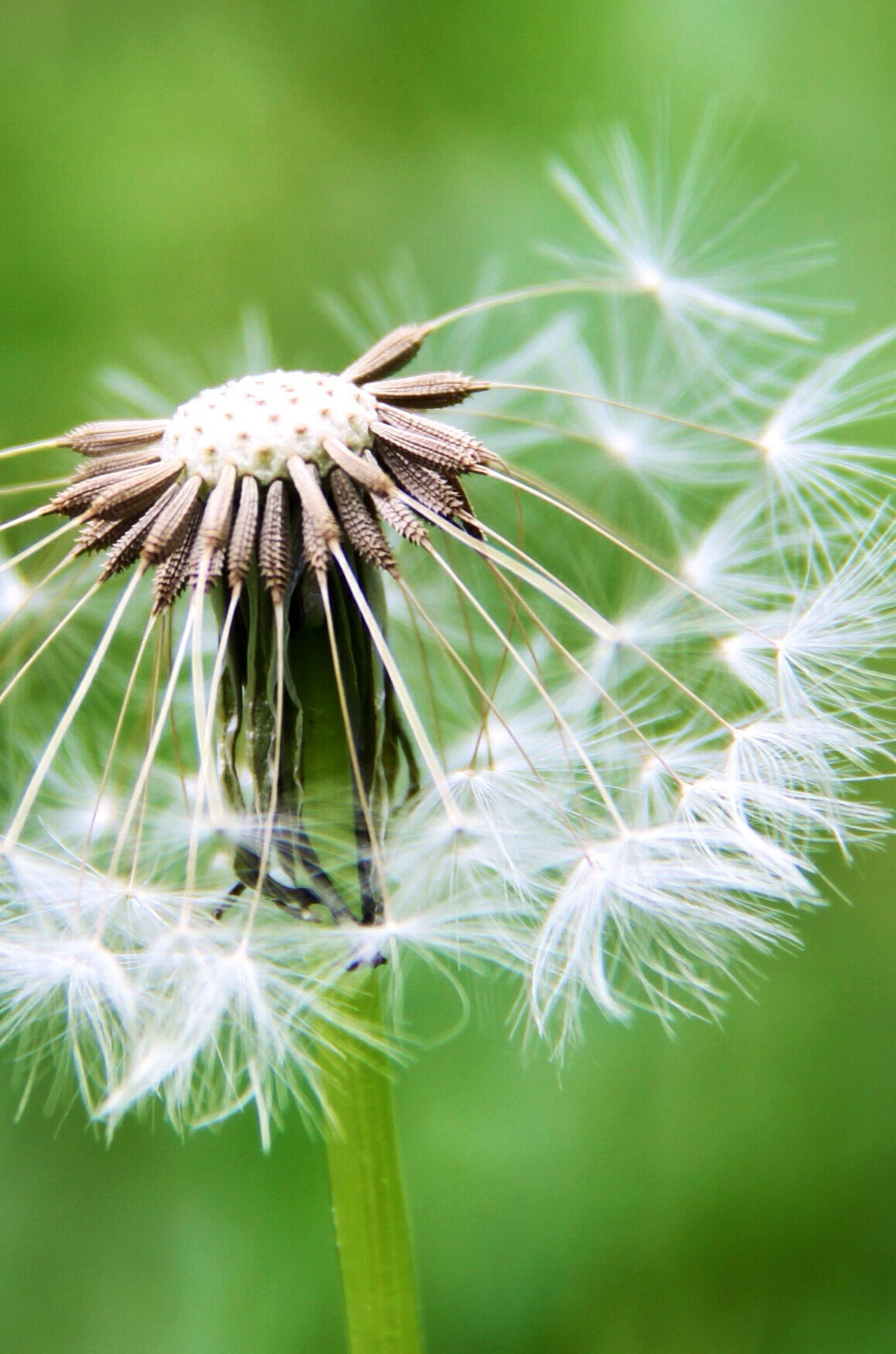 flower, growth, dandelion, focus on foreground, fragility, close-up, freshness, stem, plant, nature, beauty in nature, dandelion seed, flower head, thistle, uncultivated, softness, wildflower, spiked, day, sharp