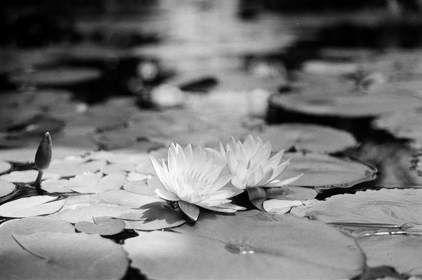Flower Nature Beauty In Nature Lotus Water Lily Petal Growth Plant Close-up Film Photography Blackandwhite B&w Filmisnotdead Pentax K1000 Botanical Gardens Pond Flower Head Freshness Water Monet