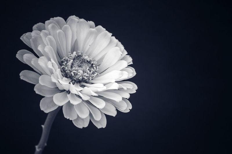优雅的菊花,,,,, Beauty In Nature Black Background Close-up Flower Flowering Plant Freshness Growth Indoors  Inflorescence Nature No People Petal Studio Shot 优雅 神秘 艺术 菊花 装饰 设计 象征