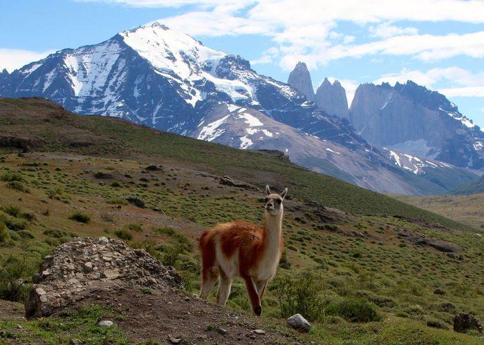 Side view of guanaco on landscape