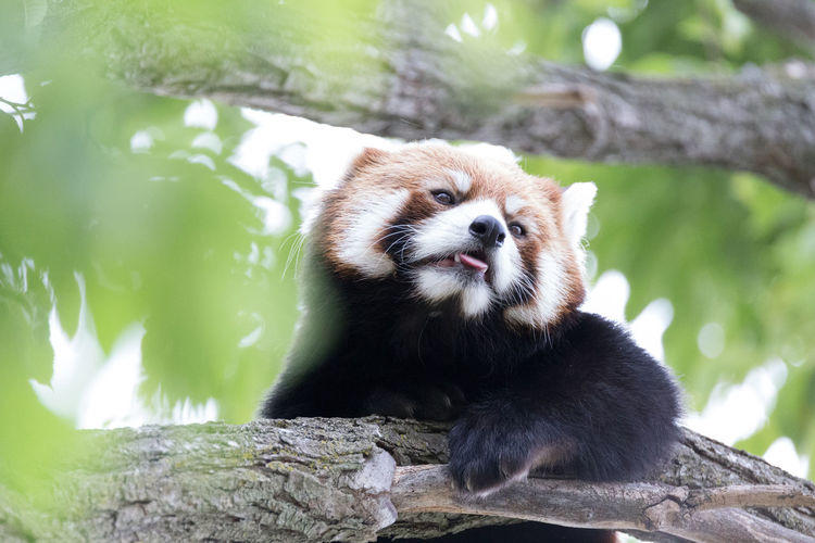 Low Angle View Of Red Panda On Branch