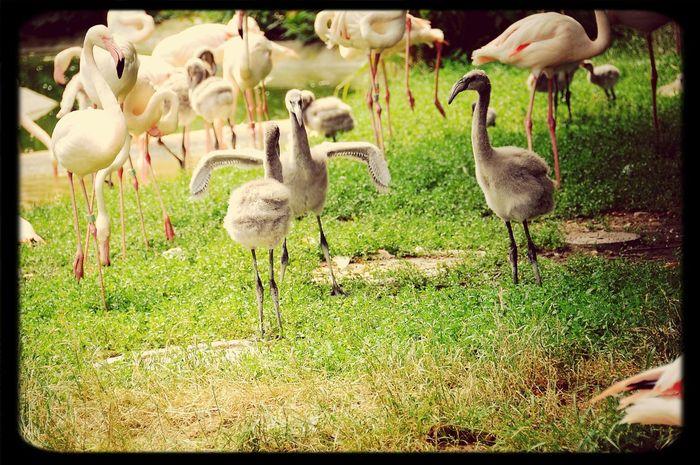 Flamingo Chick Schönbrunn Zoo