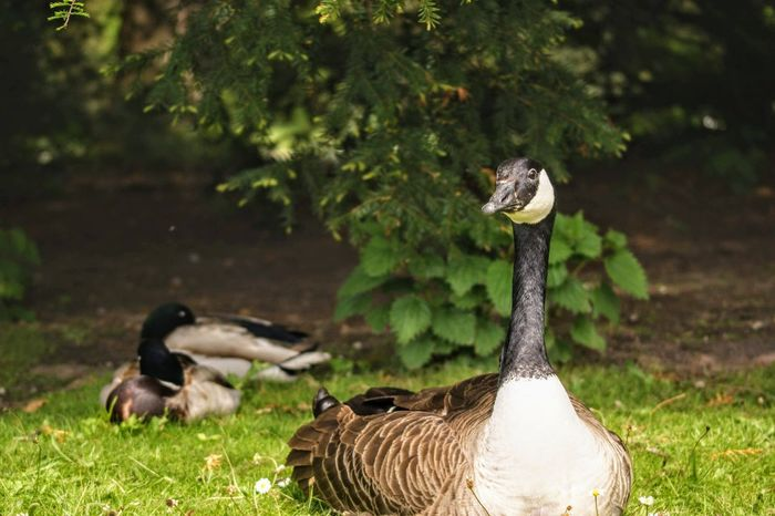 Animal Animal Family Animal Themes Animal Wildlife Animals In The Wild Bird Canada Goose Day Field Focus On Foreground Goose Gosling Green Color Group Of Animals Land Nature No People Outdoors Plant Vertebrate Water Bird Young Animal