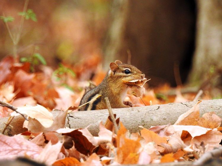 Adorableness Autumn Leaves Chipmunk Chipmunk Close-up Nesting Nesting Material Wildlife & Nature Wildlife Photography Adorable Animal Themes Animals In The Wild Chipmunk Chipmunk Photography Cute Animal Fall Leaves Gathering Leaves In The Forest In The Woods Leaves Leaves_collection Mammal Nature Nature_collection No People One Animal