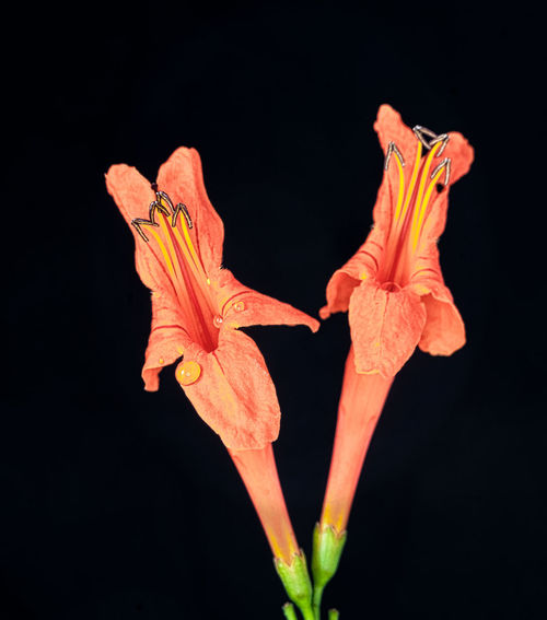 Orange Glow Beauty In Nature Black Background Botany Close-up Cut Out Flower Flower Head Focus On Foreground Fragility Growth Gunbir In Bloom Nature No People Orange Flower Petal Red Stamen Stem