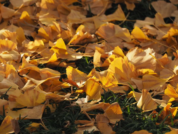 Autumn Beauty In Nature Change Close-up Day Fall Leaves Fallen Leaves Fragility Ginkgo Leaf Leaf Leaves Many Leaves Maple Maple Leaf Nature No People Outdoors Yellow