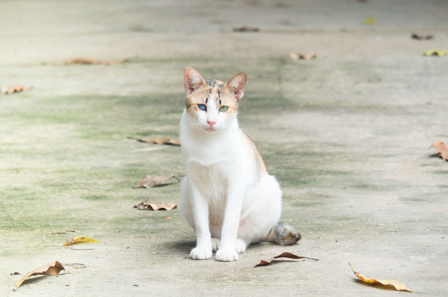 A white cat with different eyes colors Lonely Cat Lonely And Sad Cat Cat Sitting Still Domestic Animals Domestic Cat Feline Mammal One Animal Portrait Sitting White Cat