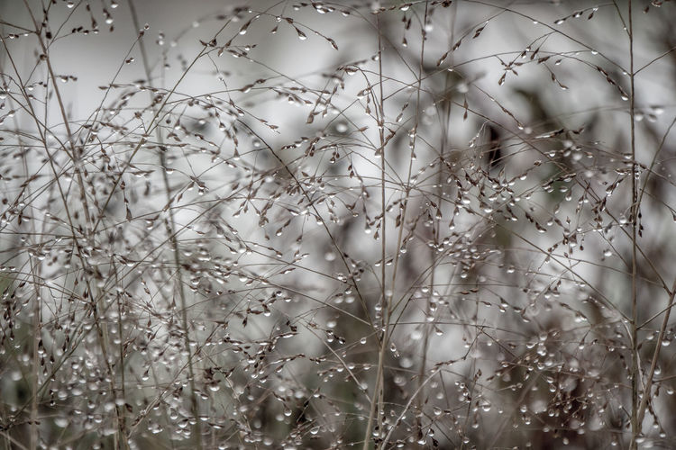 Branches Rain Drops Twigs Winter Background Beauty In Nature Beauty In Nature Bush Close-up Day Desaturated Droplets Fragility Freshness Grey Growth Leaves Nature No People Outdoors Pattern Plant See Through Sky Tranquility Perspectives On Nature