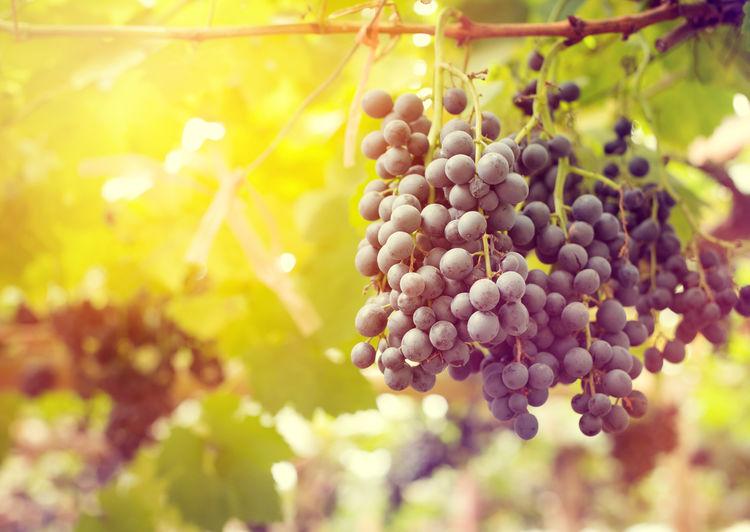 morning view of the grape in vineyards at sunshine Vintage Light Morning Grape Vineyard Wine Nature Fruit Fall Autumn Harvest Farm